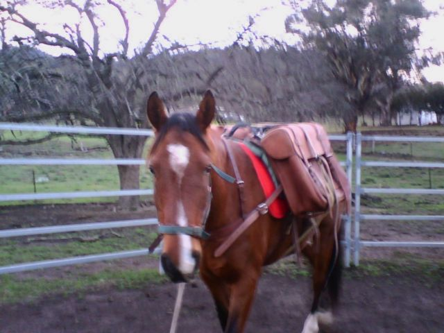 """Beau is sporting Sue's new packsaddle and packs.  Beau says,  """"Hey mum, I love my new packsaddle.  When are we hitting the trail, I can't wait!!!"""". Caloola farm June long weekend 2009."""