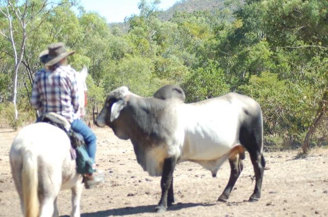 Katrinn  meeting  a bull on the OK Copper Mine Ride Day 1