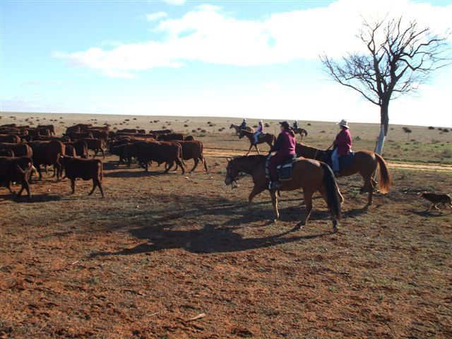 Moving the cattle the next day was fun for all